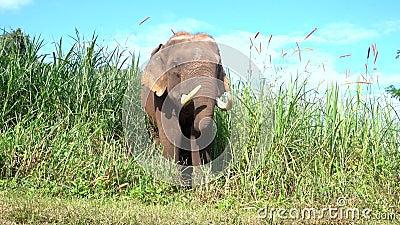 Ο ασιατικός ελέφαντας αυτό είναι μεγάλο θηλαστικό απόθεμα βίντεο