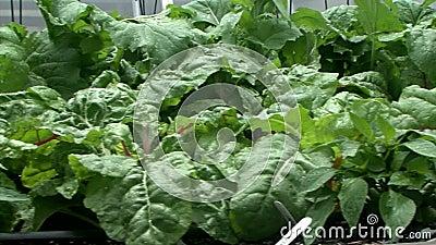 Ο αυξημένος φυτικός κήπος κρεβατιών - επιβραδύνετε τη Dolly πυροβοληθείσα - κλείνει επάνω απόθεμα βίντεο