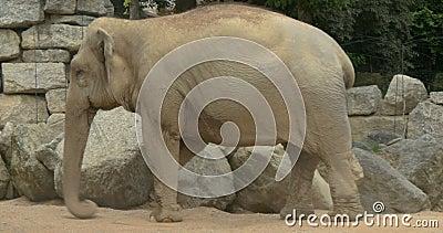 Ο ελέφαντας ρίχνει τη σκόνη απόθεμα βίντεο