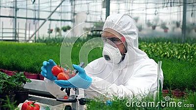 Ο εργαζόμενος ενίει ντομάτες με μεγάλη σύριγγα Επιστήμονας που χρησιμοποιεί τοξικά φυτοφάρμακα, εντομοκτόνα που εργάζονται με καλ απόθεμα βίντεο