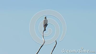 Ο κομψός αετός κάθεται πάνω σε ένα καφέ δέντρο και κοιτάζει γύρω φιλμ μικρού μήκους