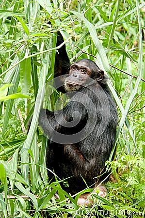 Ο χιμπατζής κοιτάζει επίμονα