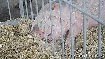 Ο χοίρος των ενήλικων ατόμων βρίσκεται στο σανό στο στάβλο livestock απόθεμα βίντεο