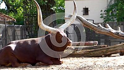 Ο Ankole watusi κάθεται στο έδαφος, μια αμερικανική διασταυρούμενη φυλή κατοικίδιων βοοειδών με φαρδιά κέρατα, δημοφιλή σαφάρι κα φιλμ μικρού μήκους