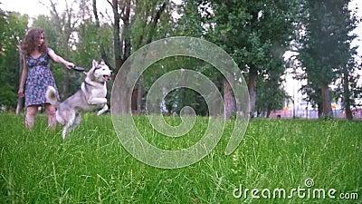 Παιχνίδι δύο σκυλιών υπαίθρια με τον ιδιοκτήτη του - έγκυος γυναίκα - ιρλανδικός ρυθμιστής και γεροδεμένος, σε αργή κίνηση απόθεμα βίντεο