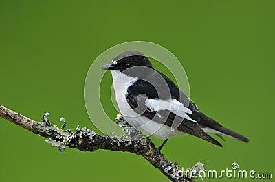 Παρδαλό Flycatcher