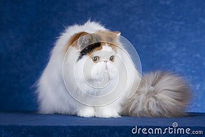 Περσική γάτα 1
