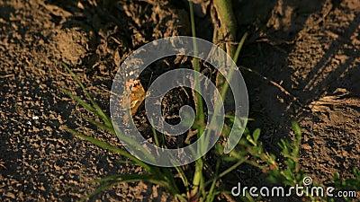 Πεταλούδα στο έδαφος απόθεμα βίντεο