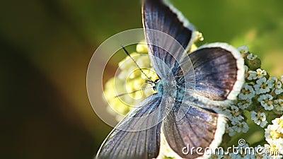 Πεταλούδα και λουλούδι Μακροεντολή απόθεμα βίντεο