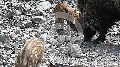 Πολύς περίπατος scrofa Sus χοιριδίων άγριων κάπρων σε έναν ζωολογικό κήπο απόθεμα βίντεο