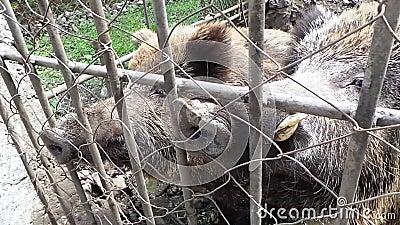 Πολύς περίπατος scrofa Sus χοιριδίων άγριων κάπρων σε έναν ζωολογικό κήπο φιλμ μικρού μήκους