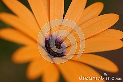 πορτοκάλι λουλουδιών &alp