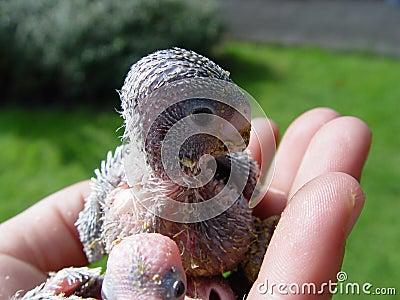 πουλί μωρών