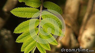 Πράσινη σορβιά φύλλων ηλιοφώτιστη φιλμ μικρού μήκους