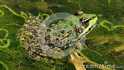 Πράσινος βάτραχος στη λίμνη απόθεμα βίντεο