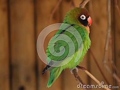 πράσινος παπαγάλος lovebird agapornis μι