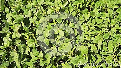 Πράσινος ωριμάζοντας τομέας σόγιας, γεωργικό τοπίο απόθεμα βίντεο