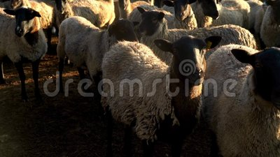 Πρόβατα κοπαδιών που στέκονται και που εξετάζουν κεκλεισμένων των θυρών στο λιβάδι το αγροτικό αγρόκτημα livestock απόθεμα βίντεο