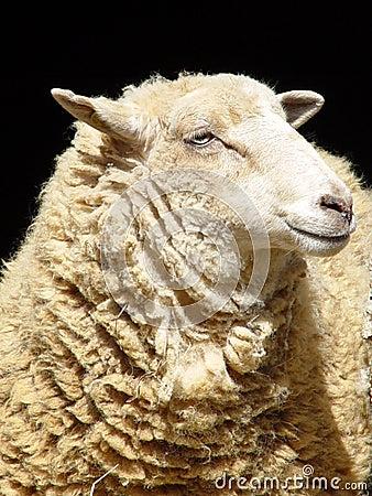 πρόβατα χαμόγελου