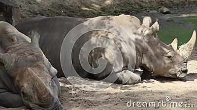 Ρινόκερος σε πάρκο απόθεμα βίντεο