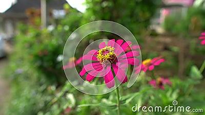 Ροζ κήπος με λουλούδια απόθεμα βίντεο