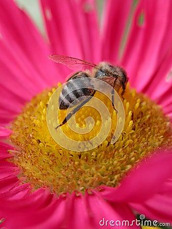 ροζ λουλουδιών 2 μελισσών