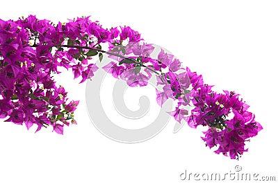 ροζ bougainvillea