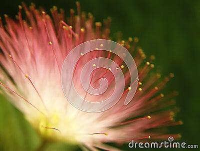 ροζ mimosa άνθισης