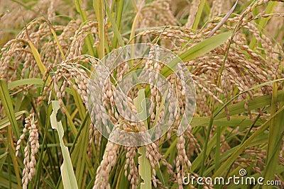 ρύζι 2