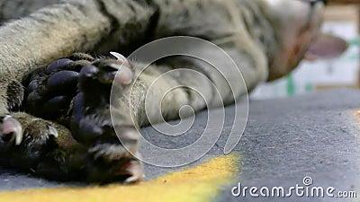 Σιαμέζο πόδι γατών απόθεμα βίντεο