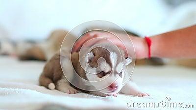 Σιβηρικά γεροδεμένα κουτάβια, τρεις εβδομάδες ηλικίας συνεδρίασης στο κρεβάτι απόθεμα βίντεο