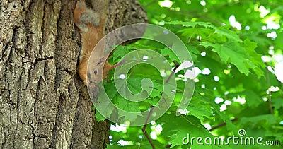 Σκίουρος σε ένα δέντρο απόθεμα βίντεο