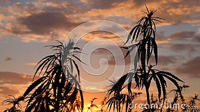 Σκιαγραφία των κορυφών των κλάδων της άγριας κάνναβης σε ένα υπόβαθρο του ηλιοβασιλέματος Καλλιέργεια των καννάβεων Νομιμοποίηση φιλμ μικρού μήκους