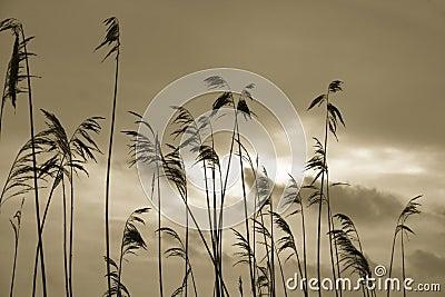 σκιαγραφίες καλάμων φυτώ&