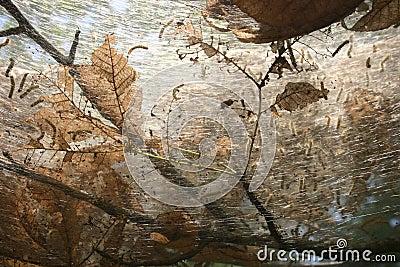σκουλήκι φωλιών s