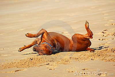σκυλί πέρα από το κύλισμα