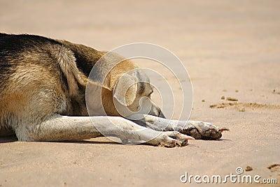 σκυλί παραλιών οκνηρό