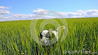 Σκυλί που περιπλανιέται μέσω του πράσινου τομέα απόθεμα βίντεο