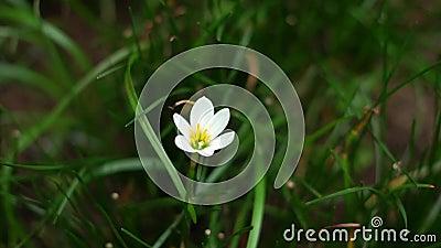 Σταγόνες βροχής, δακτυλίδι βροχής, κήπος λευκού ζεφράνθου που ανθίζει φιλμ μικρού μήκους