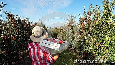 Στις ακτίνες του ήλιου, ο θηλυκός αγρότης στο πουκάμισο καρό και το καπέλο περπατούν μεταξύ των σειρών των δέντρων μηλιάς κρατά τ φιλμ μικρού μήκους