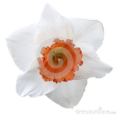 Στοιχείο σχεδίου Daffodil-