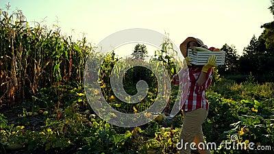 Στο ηλιοβασίλεμα, ο θηλυκός αγρότης στους περιπάτους πουκάμισων και καπέλων καρό μέσω του τομέα, φυτικός κήπος, κρατά το κιβώτιο  απόθεμα βίντεο