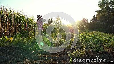 Στο ηλιοβασίλεμα, ο θηλυκός αγρότης στους περιπάτους πουκάμισων και καπέλων καρό μέσω του τομέα, φυτικός κήπος, κρατά το κιβώτιο  φιλμ μικρού μήκους