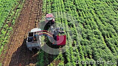 Συγκομιδή καρότου σε γεωργικές εκτάσεις απόθεμα βίντεο