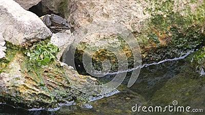 Συνεδρίαση βατράχων σε μια πέτρα και άλμα στη λίμνη φιλμ μικρού μήκους