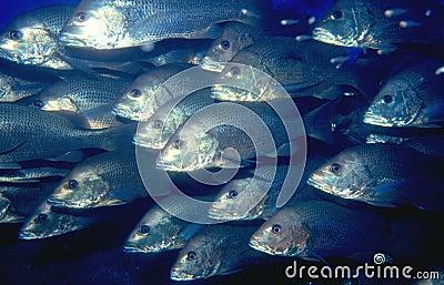 σχολείο ψαριών