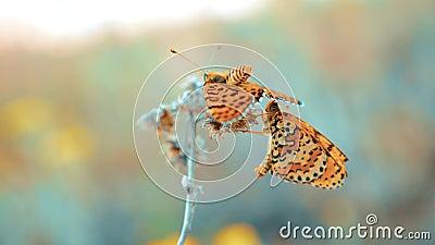 Σύντροφος δύο πεταλούδων Μεγάλη ταρταρούγα, πεταλούδα polychloros Nymphalis η καφετιά πεταλούδα κάθεται σε ένα σε αργή κίνηση βίν απόθεμα βίντεο