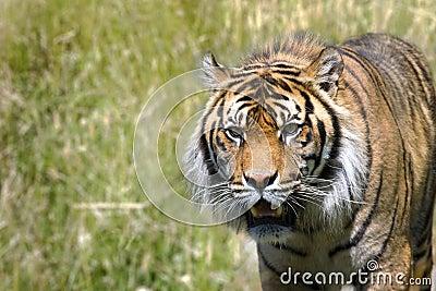 τίγρη καταδίωξης