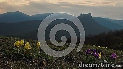 Τα άγρια λουλούδια της Iris ταλαντεύονται στον αέρα στα πλαίσια των βουνών φιλμ μικρού μήκους