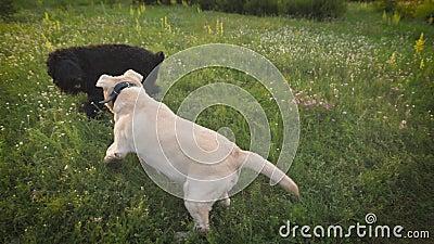 Τα άσπρα και μαύρα σκυλιά που ντύνονται στα περιλαίμια παίζουν σε έναν πράσινο ανθίζοντας χορτοτάπητα στο ηλιοβασίλεμα το καλοκαί φιλμ μικρού μήκους